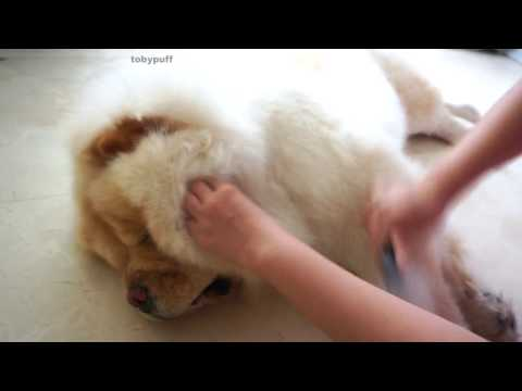 GROOMING CHOWCHOW TOBYPUFF !!