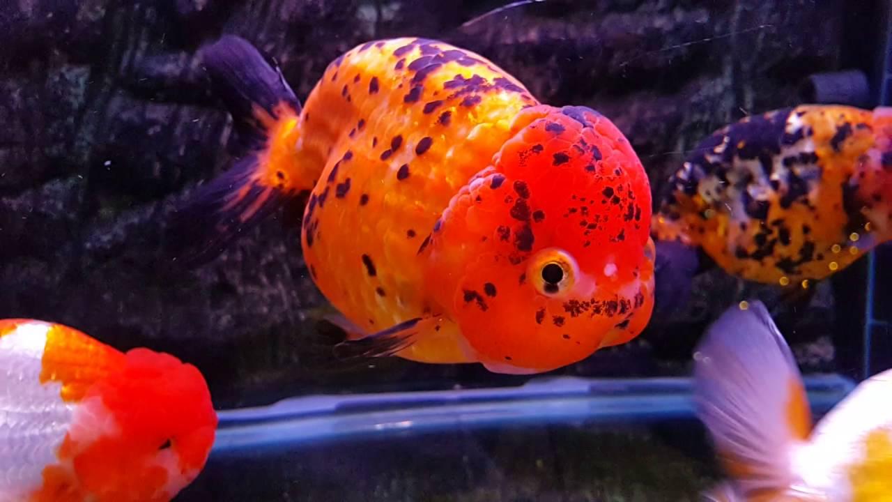 Hybrid Goldfish - YouTube