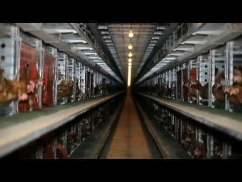 Enriched Cages for Laying Hens and EGG PRODUCTION