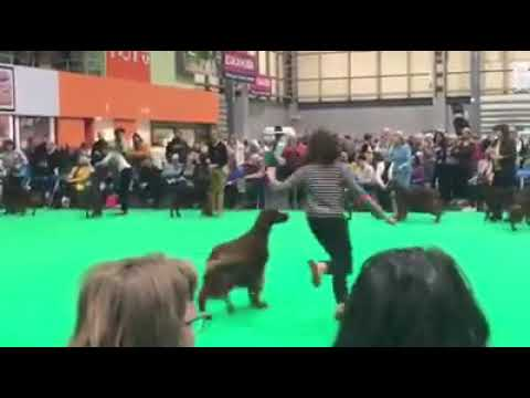 Crufts Dog CC 2019 Sarah Tupper