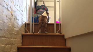 11 Week Old English Bulldog Puppy Regina Almost Mastering The Stairs