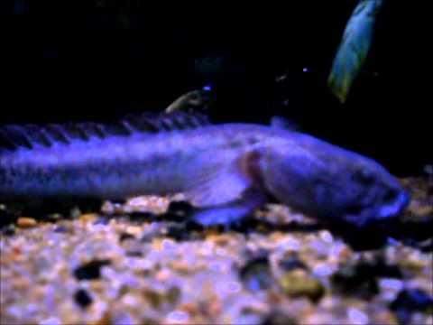 Dragonfish Feeding - Updated !