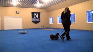 Dewei Chang (shitzu) Dog Training Boot Camp Video