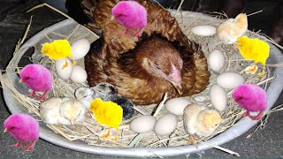 Sussex Hen Harvesting Eggs to Chicks Small Birds Amazing Video / Fish Cutting / iSmart Village Life