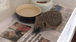 Hedgehog Day In Witney To Celebrate The Prickly Creatures