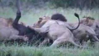 Wicked Sweet!  7 Lions Attack a Buffalo