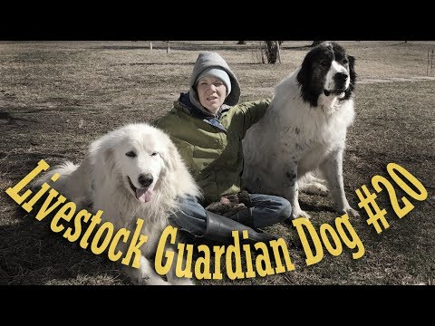 Livestock Guardian Dog Series - Taking Medications