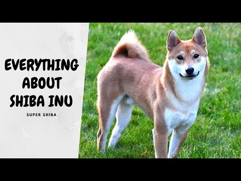 How Much Does A Shiba Inu Cost And Tips For Selecting A Good Breeder   Super Shiba