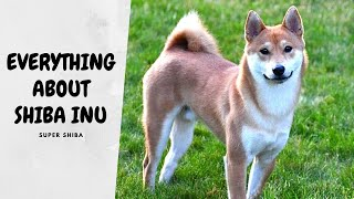How Much does a Shiba Inu Cost and Tips for Selecting a Good Breeder | Super Shiba