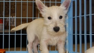 West Highland Terrier, Puppies, For, Sale, In, Hartford, Connecticut, County, Ct, Fairfield, Litchfi