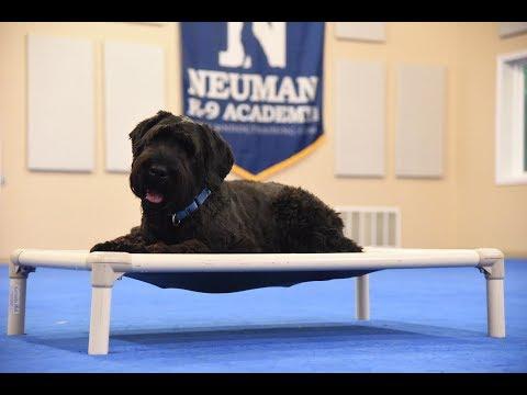 Bentley (Giant Schnauzer) Boot Camp Dog Training Video Demonstration