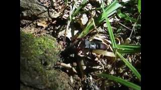 Драка - жук-олень.AVI