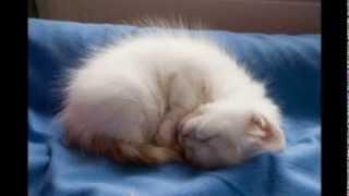 Turkish Van Cats lullaby