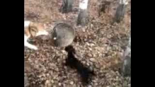 Охота на барсуков с собаками