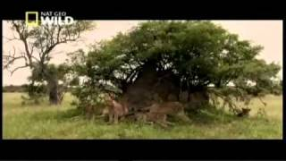 Jaws, Paws & Claws - Lions Behaving Badly (Part 3)