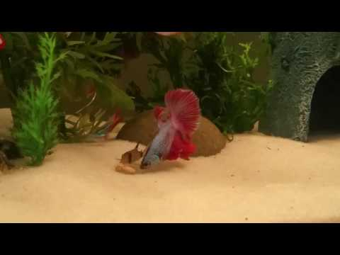 Betta Eating With Baby Panda Cory