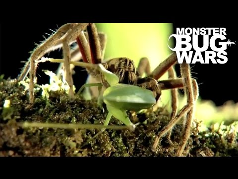 Black Tailed Scorpion vs  Red Thighed Wandering Spider | MONSTER BUG WARS