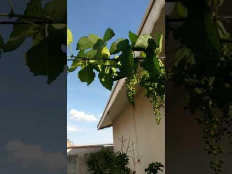 Frutíferas no terraço Ana P Alves