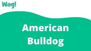 American Bulldog   Wag!
