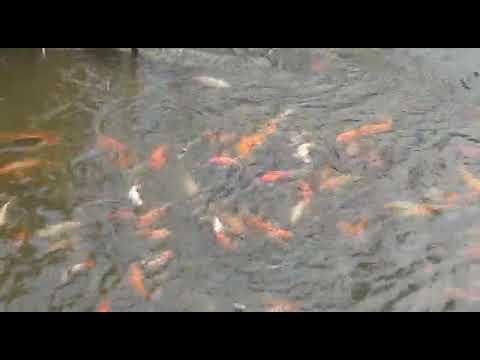 Pemberian Pakan Ikan Mas Dan Koi Youtube