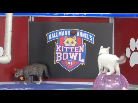 Kittens Rescued From California Wildfires Compete in Annual Kitten Bowl