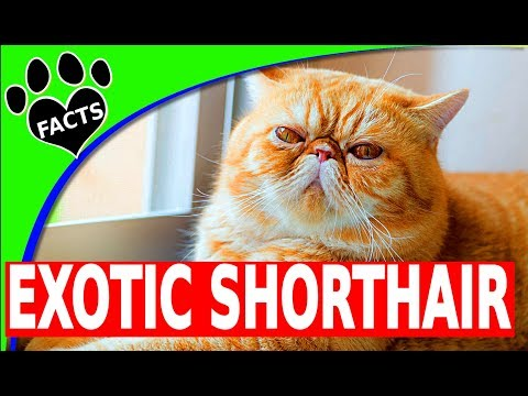 Exotic Shorthair Cats 101- Animal Facts