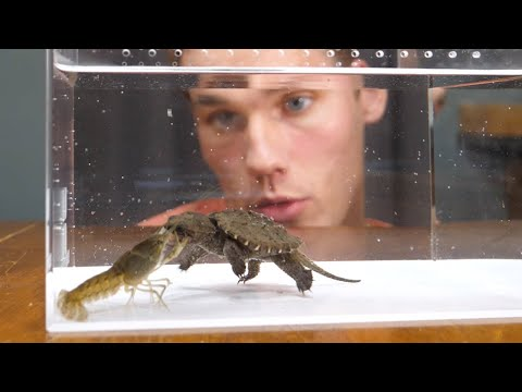 Baby Snapping Turtle vs Crayfish |