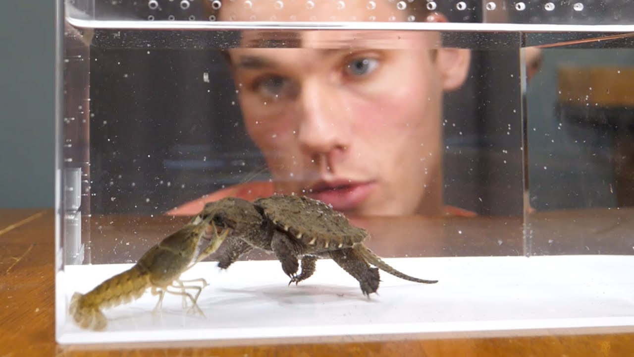 Baby Snapping Turtle vs Crayfish