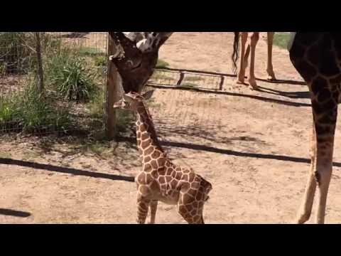 Thumbnail: Baby giraffe meets 18-foot-tall Dad