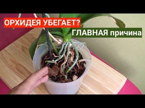 ОРХИДЕЯ убегает из горшка? МЕНЯТЬ грунт для Орхидеи