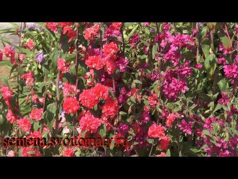 Кларкия изящная  – выращивание и уход