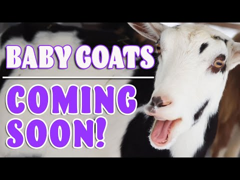 LOTs of BABY GOATs arriving Soon! Come Join the Village