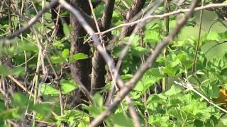 Female Eastern Orphean Warbler (Sylvia crassirostris), Bulgaria