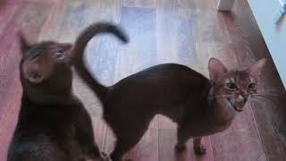 Абиссинская кошка дрессировка! Клеопатра!
