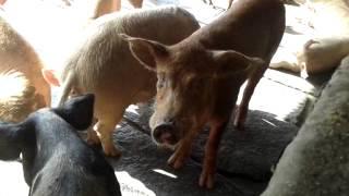 Hyderabad Pig Form (Shivam)