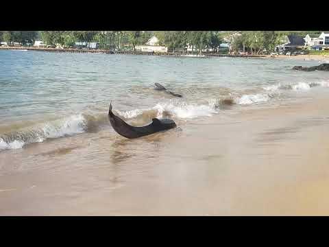 Pilot whales on Kalapaki Beach 2