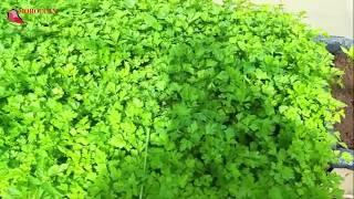 زراعة البقدونس او المعدنوس في المنزل من البذرة حتى الحصاد فيديو كامل