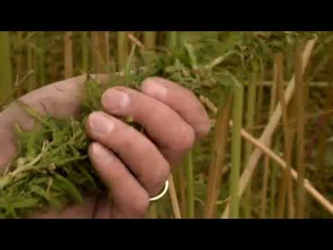 How Industrial Hemp is Harvested