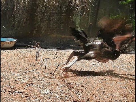 ครืนดักไก่ป่า แต่ลองดักไก่บ้าน อยากรู้ว่ามันดีขนาดไหน chicken trap
