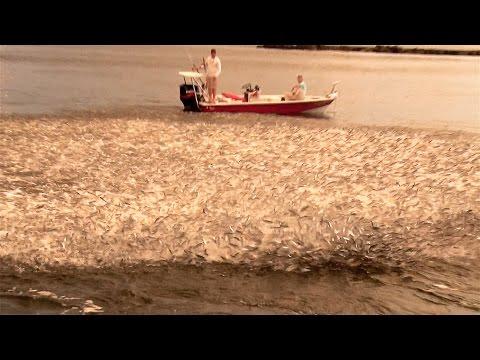 Epic Mullet Migration In Florida