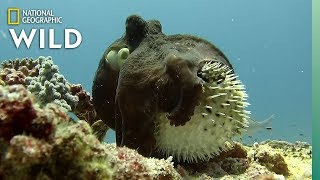 Unusual Octopus and Pufferfish Interaction - Rare Footage | Nat Geo Wild