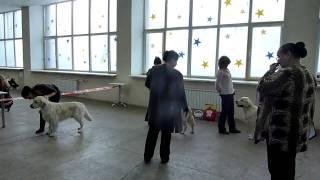 МОНО зол.ретриверов,выставка ''ИМПЕРИЯ'' сравнение на ЛК