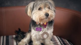 Dollar - Morkie - 3 Weeks Residential Dog Training
