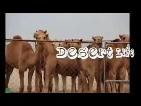 QATAR DESERT GATE MUSTAFA MIX