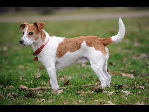 Jack russell terrier tout savoir sur cette race de chien jack russell terrier vf youtube - Jack russel queue coupee ...