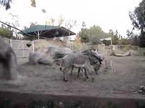 San Diego Zoo Zebras thumbnail