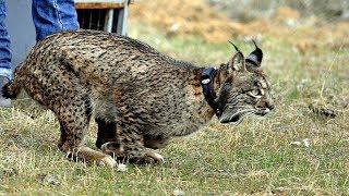 ЕС восстанавливает популяцию испанской рыси в дикой природе