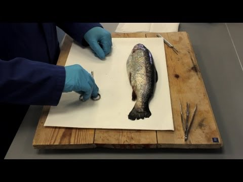 Biology - Trout Dissection