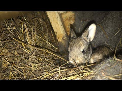 Очень крупные Кролики