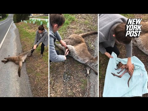 Woman rescues baby kangaroo from its dead mother's pouch
